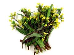 コウタイサイ。春を告げる野菜の一つです。