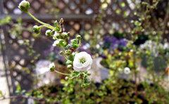 ユキヤナギの花。まだ咲き始めですが春には枝いっぱいの花を咲かせます。