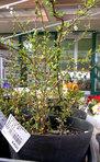 ユキヤナギ。枝いっぱいに白い花が咲きます。