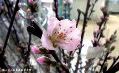 風土記の丘農産物直売所では桃の枝の販売も。