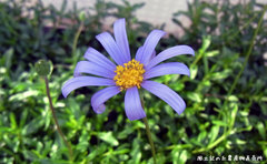 可愛らしい青い花、ブルーデージー