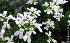株を覆うように咲く白い花が映える宿根イベリス