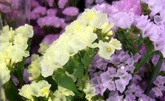 スターチスの切り花