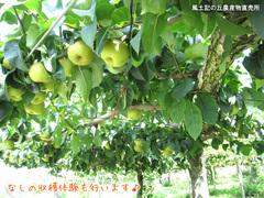 20110806梨畑.jpg