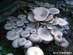 20111112平茸2.jpg