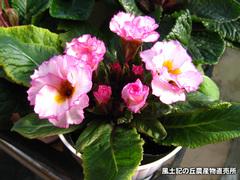 20120106八重咲き2.jpg