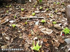 20120302ふきのとう畑1.jpg