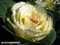 20121125葉牡丹4.jpg