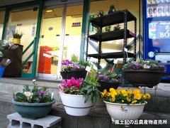 20121212鉢植え7.jpg