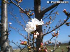 20130322桜.jpg
