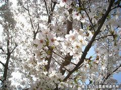 20130329桜.jpg