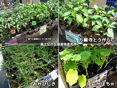 20130412野菜苗.jpg