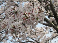 20210331桜.jpg