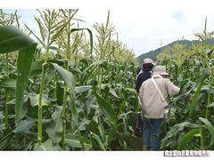 もろこし収穫体験.jpg