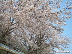 桜04073.jpg