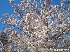 桜04112.jpg