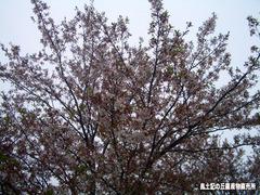 桜0417.jpg