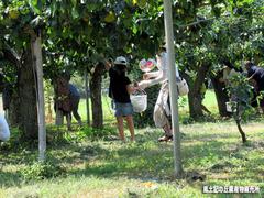 梨収穫体験1.jpg