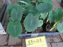 里芋の苗20200525.jpg